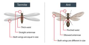 main_termite-identification